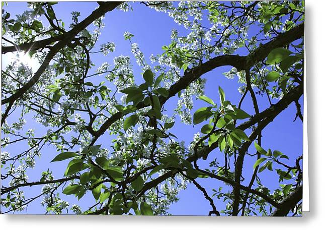 Crab Apple  Greeting Card by Jim Gillen