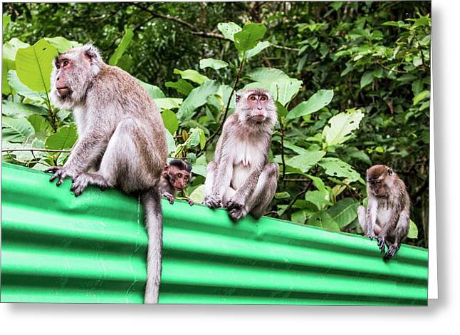 Crab-eating Macaques Greeting Card