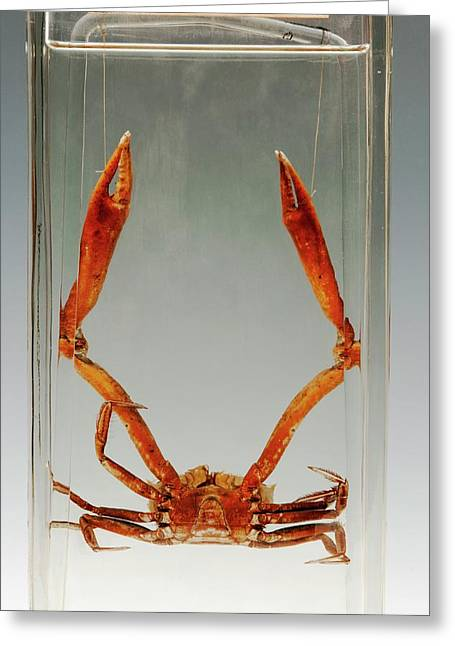Crab Specimen Greeting Card by Ucl, Grant Museum Of Zoology