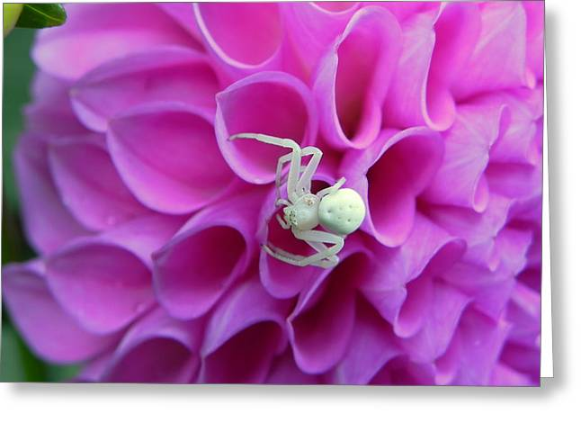 Crab Spider And Dahlia Greeting Card