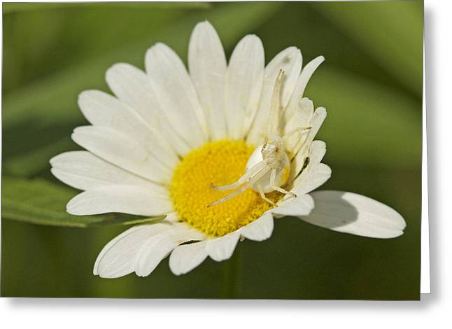 Crab Spider Greeting Card by Brian Magnier