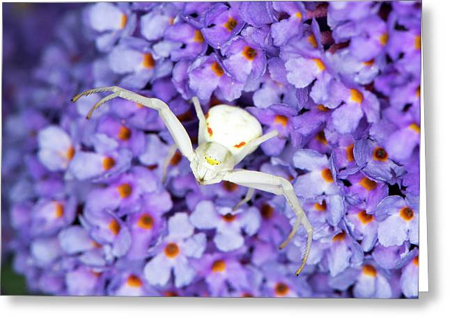 Crab Spider On A Buddleia Flower Greeting Card by Louise Murray
