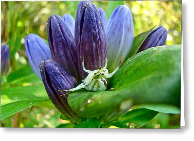Crab Spider On Closed Gentian Wildflower - Gentiana Andrewsii Greeting Card by Mother Nature