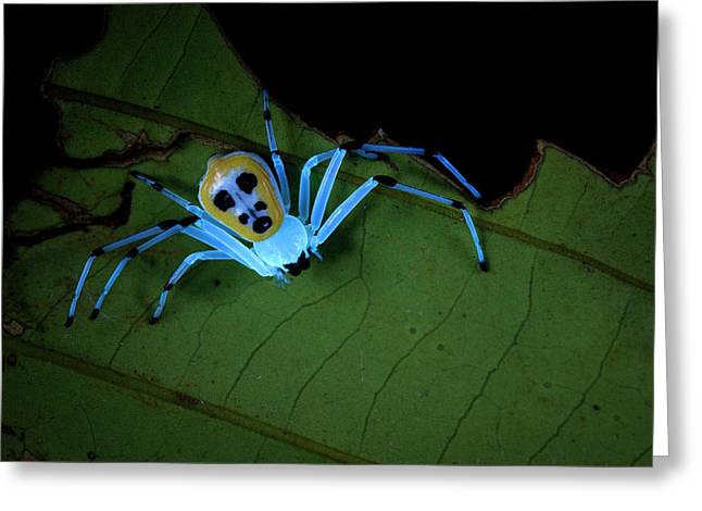 Crab Spider Under Uv Light Greeting Card by Melvyn Yeo