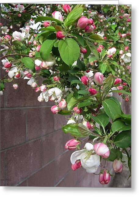 Crabapple Blossoms And Wall Greeting Card by Donald S Hall
