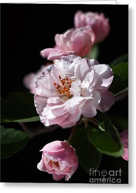 Crabapple Flowers Greeting Card