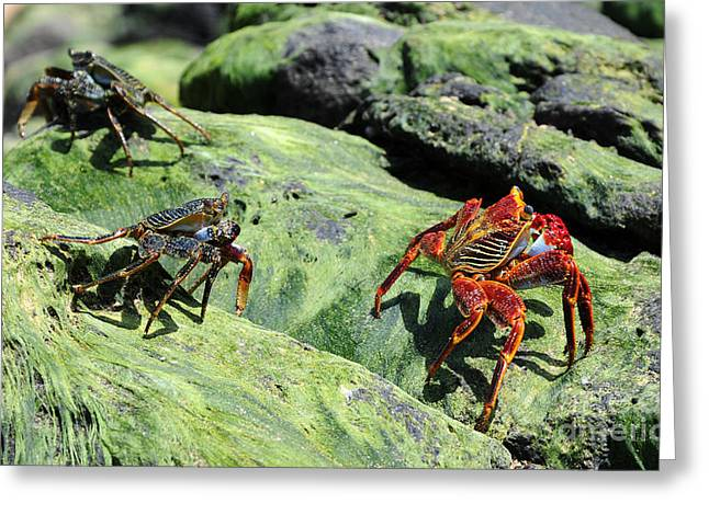 Crabs At The Beach Greeting Card by Vivian Christopher