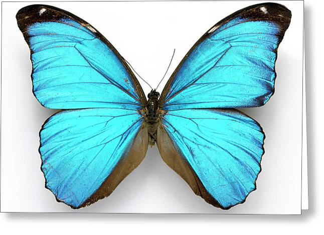 Cramer's Blue Butterfly Greeting Card by Natural History Museum, London/science Photo Library