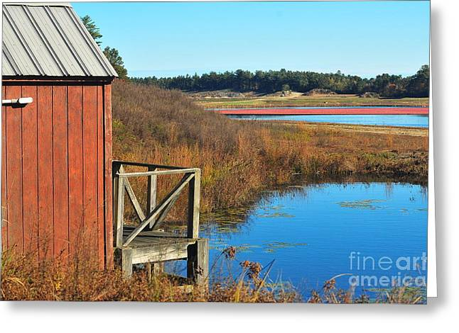 Cranberry Harvest  Greeting Card by Catherine Reusch Daley