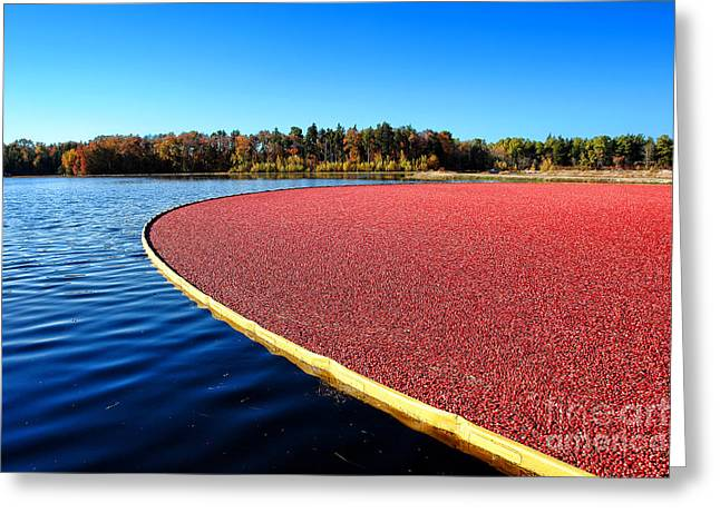 Cranberry Harvest In New Jersey Greeting Card by Olivier Le Queinec