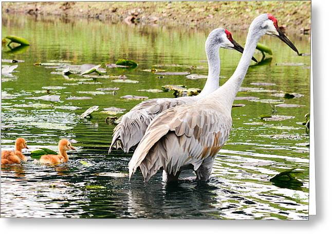 Crane Family Goes For A Swim Greeting Card