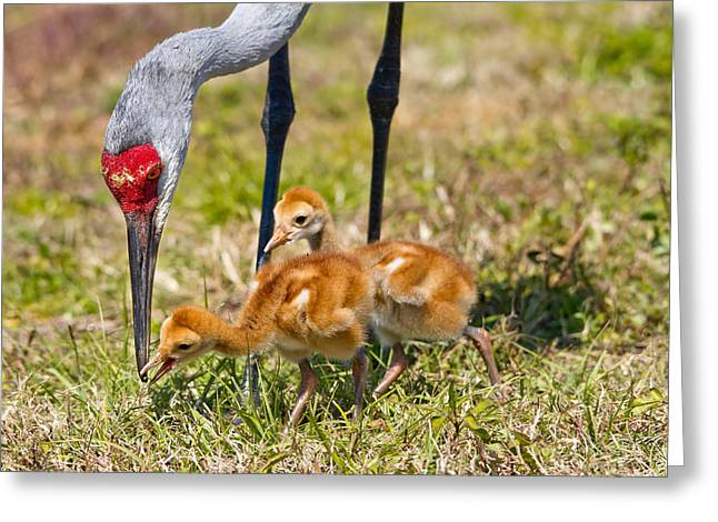 Crane Neck To Feed Chicks Greeting Card