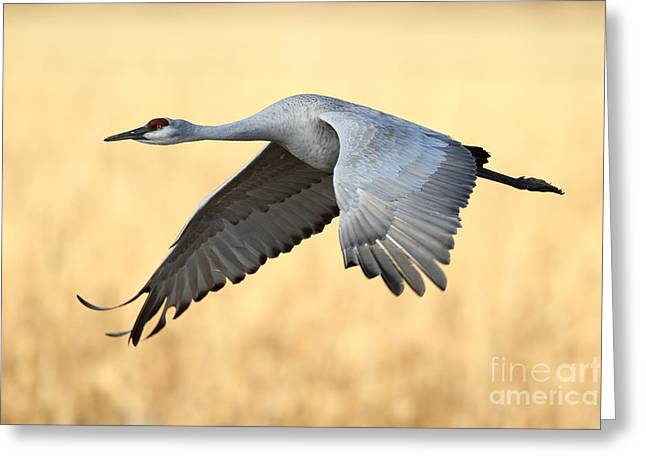 Crane Over Golden Field Greeting Card