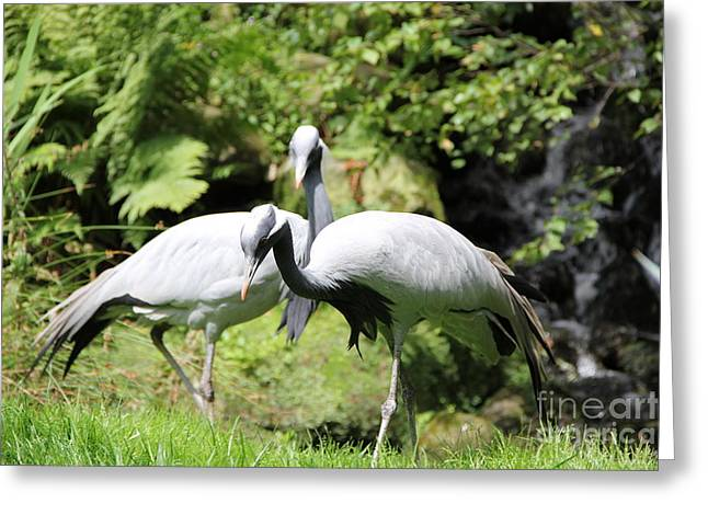 Cranes Greeting Card