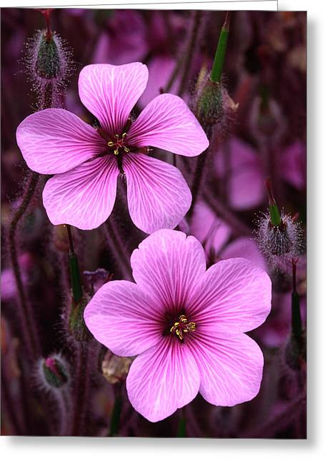 Cranesbill Greeting Card by Nigel Downer