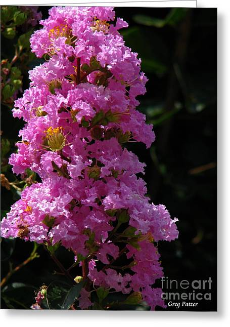 Crape Myrtle Greeting Card by Greg Patzer