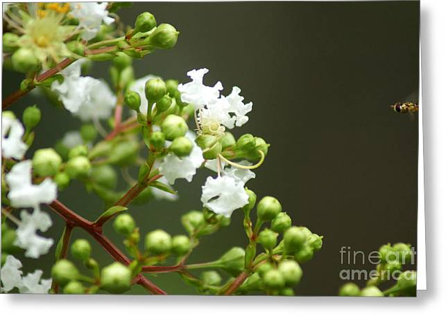 Crape Myrtle Greeting Card