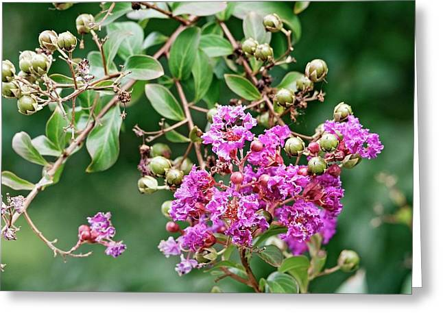 Crape Myrtle (lagerstroemia Indica) Greeting Card