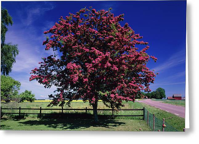 Crataegus Intricata. Greeting Card by Bjorn Svensson/science Photo Library