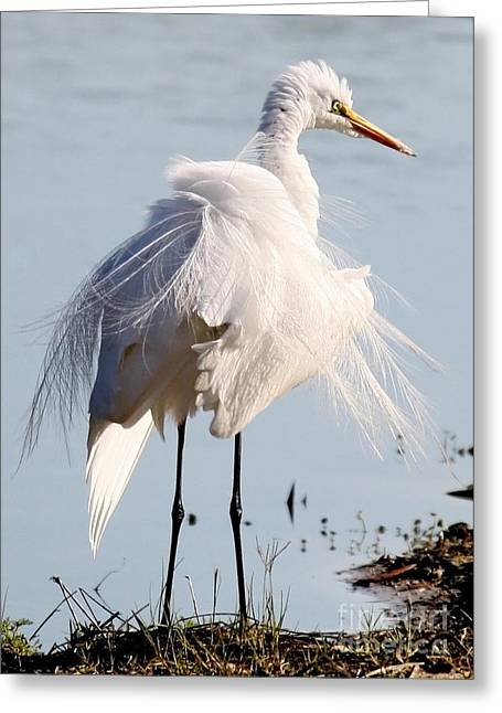 Crazy Egret Feathers Greeting Card
