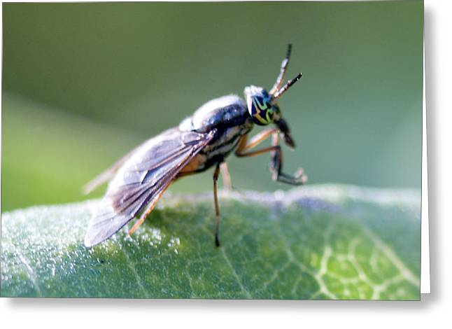 Crazy-eyed Fly Greeting Card