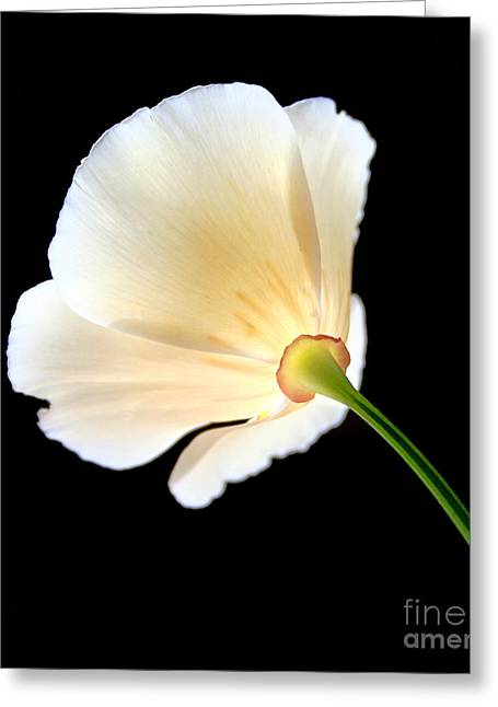 Cream Poppy Glow Greeting Card