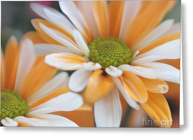 Greeting Card featuring the photograph Creamsicle Daisies by Mary Lou Chmura