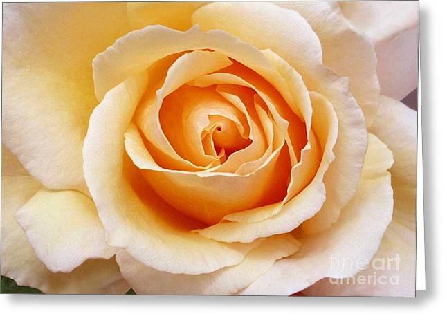 Creamy Orange Rose Blossom Greeting Card