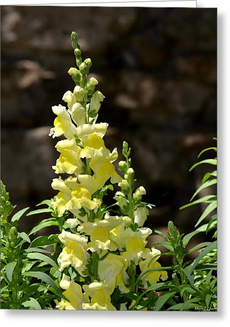 Creamy Yellow Snapdragon Greeting Card by Maria Urso