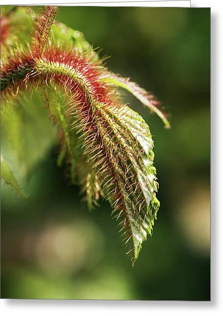 Creeping Bramble (rubus Tricolor) Leaves Greeting Card