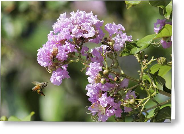 Crepe Myrtle And Honey Bee Greeting Card by Jason Politte