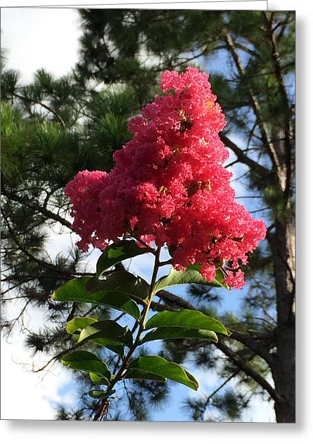 Crepe Myrtle And Mr. Pine Greeting Card