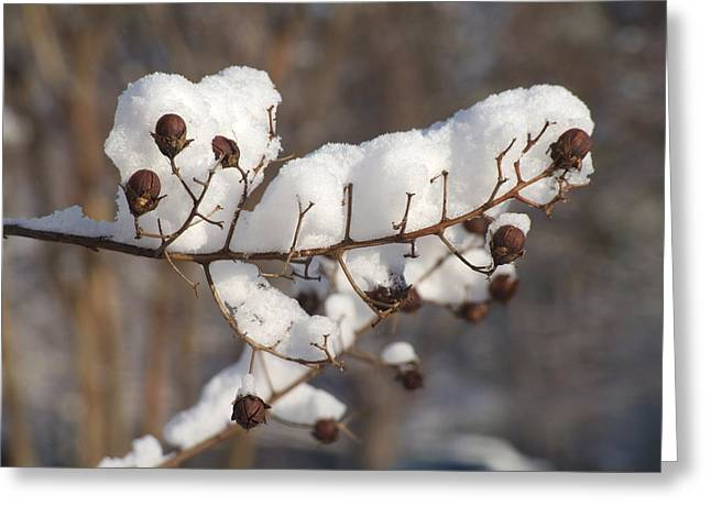 Crepe Myrtle In The Snow Greeting Card