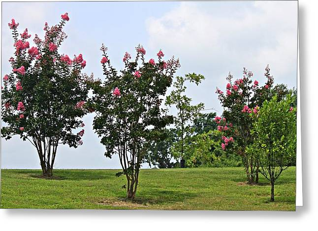 Crepe Myrtle Trees Greeting Card by Carolyn Ricks
