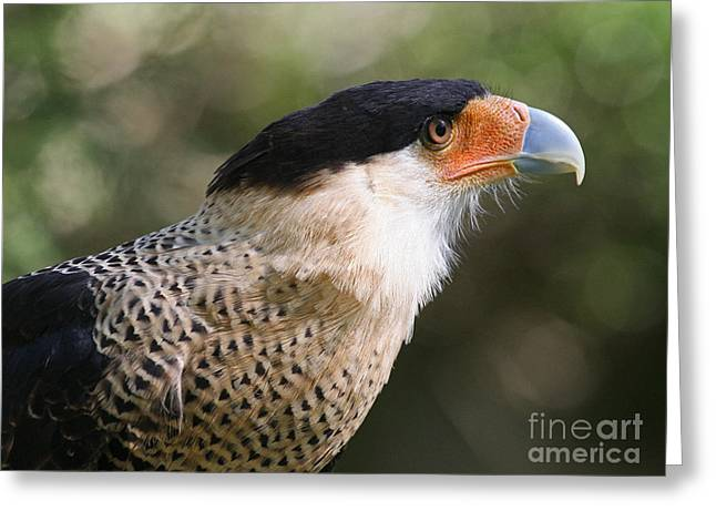Crested Caracara Bird Of Prey Greeting Card by Kevin McCarthy