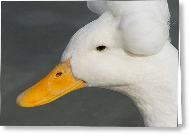 Greeting Card featuring the photograph Crested Duck by Bob and Jan Shriner