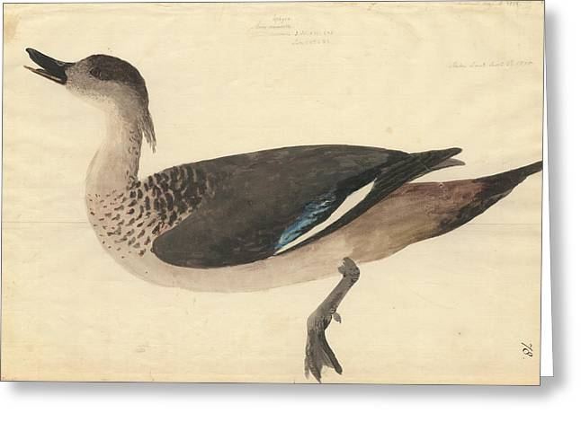 Crested Duck Greeting Card by Natural History Museum, London