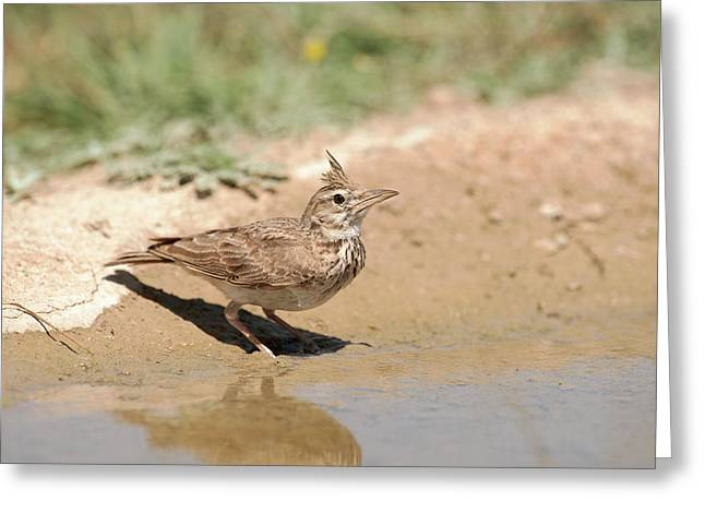 Crested Lark Drinking Water Greeting Card
