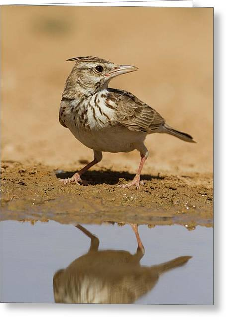 Crested Lark (galerida Cristata) Greeting Card