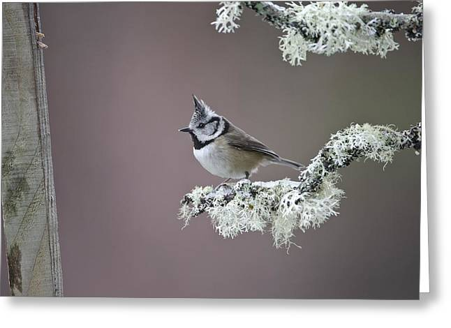 Crested Tit Greeting Card by Science Photo Library