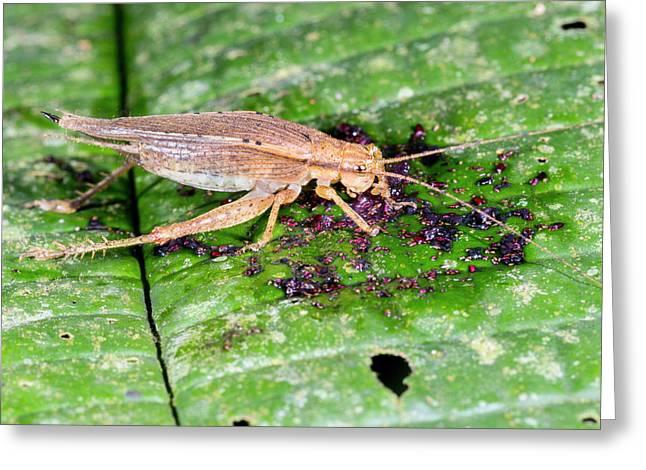 Cricket Feeding On Fallen Fruit Greeting Card by Dr Morley Read