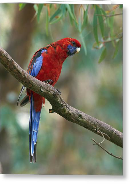 Crimson Rosella Parrot Canberra Greeting Card by Martin Willis