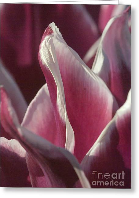 crimson Tulip Greeting Card by Rudi Prott