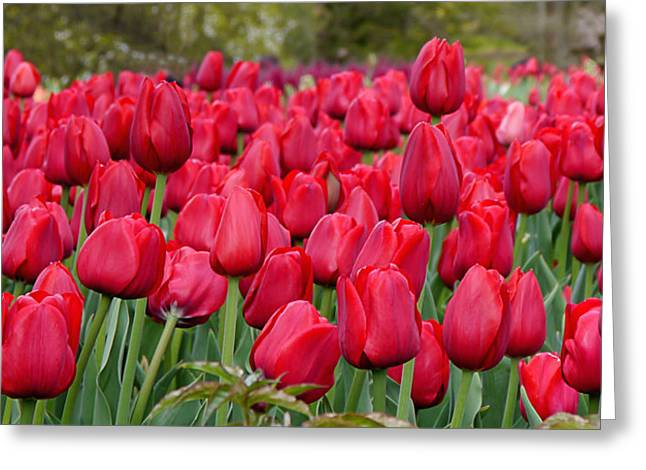 Crimson Tulips  Greeting Card by Richard Reeve