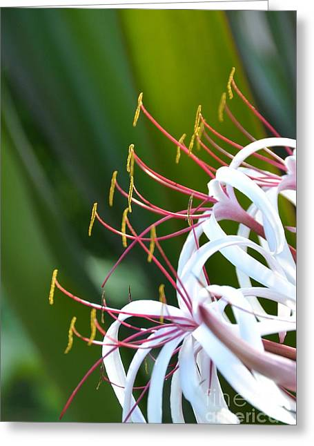 Greeting Card featuring the photograph Crinum Lily by Darla Wood