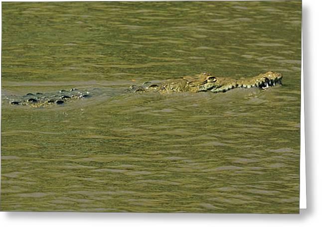 Crocodile In A River, Palo Verde Greeting Card