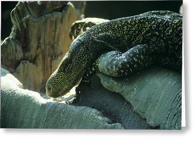 Crocodile Monitor Lizard Greeting Card by Sally Mccrae Kuyper/science Photo Library