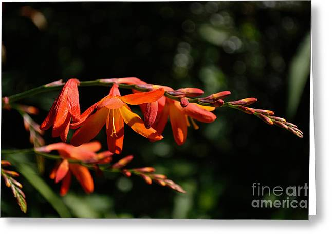 Crocosmia 'dusky Maiden' Flowers Greeting Card