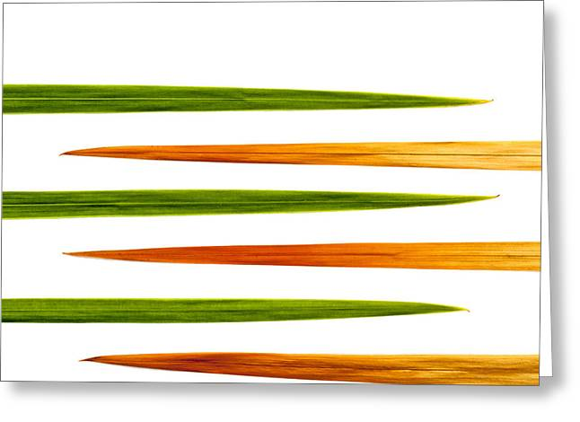 Crocosmia Leaves On White Background Greeting Card by Carol Leigh
