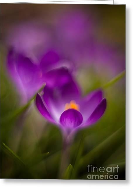 Crocus Bloom Edge Glow Greeting Card